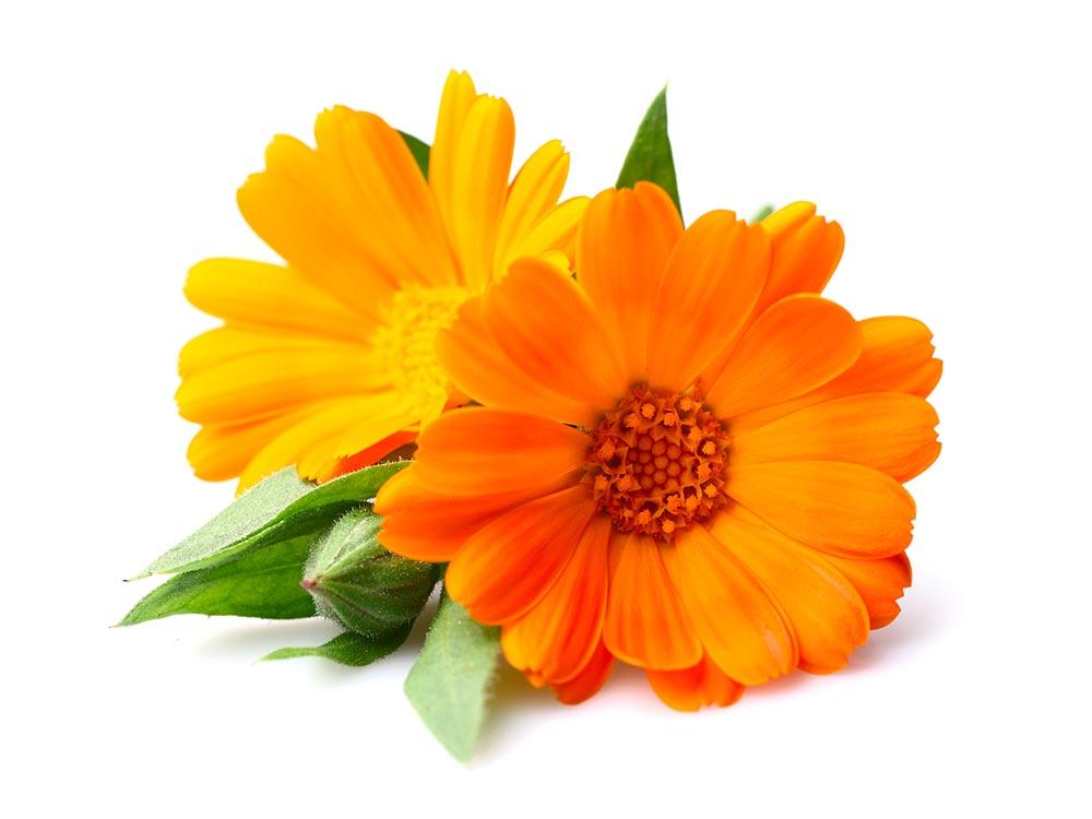"""Résultat de recherche d'images pour """"fleurs de calendula"""""""